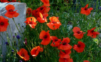Mass of red poppies in dappled